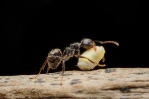 Soñar con hormigas que llevan comida